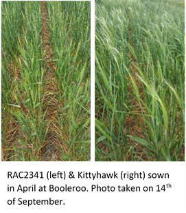 RAC2341 (left) & Kittyhawk (right) sown in April at Booleroo